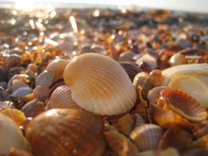 золотой пляж, ракушки