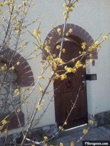 Цветущий кизил в Крыму
