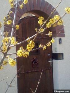 цветы кизила крупным планом