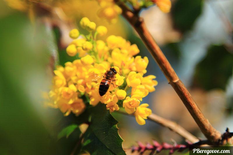 Магония и пчела