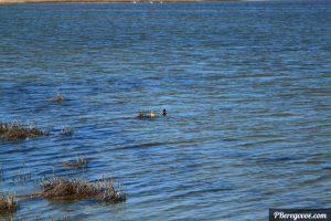 уточки на озере за домом