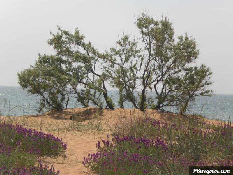 деревце возле пляжа, Береговое