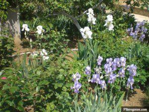 ирисы в саду грина 50